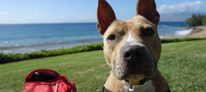 Maui Humane Society Beach Buddies Visitor Program