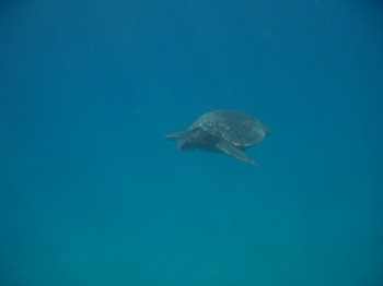 blackrock turtle-5