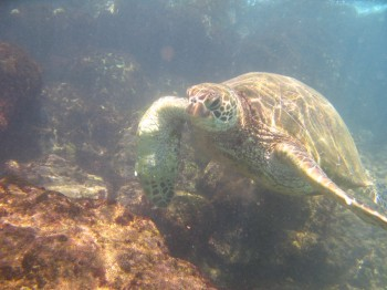 blackrock turtle-6