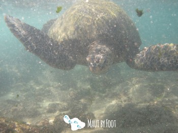 napilibeach turtle-5