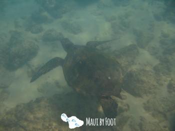 napilibeach turtle