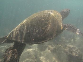 napilibeach turtle - 3