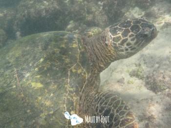 napilibeach turtle 6